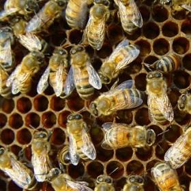 Wintersterfte honingbijen niet anders dan vorig jaar