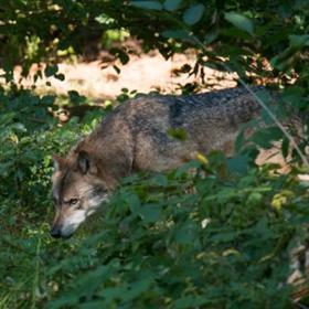 Dit voorjaar bezochten zes verschillende wolven Nederland